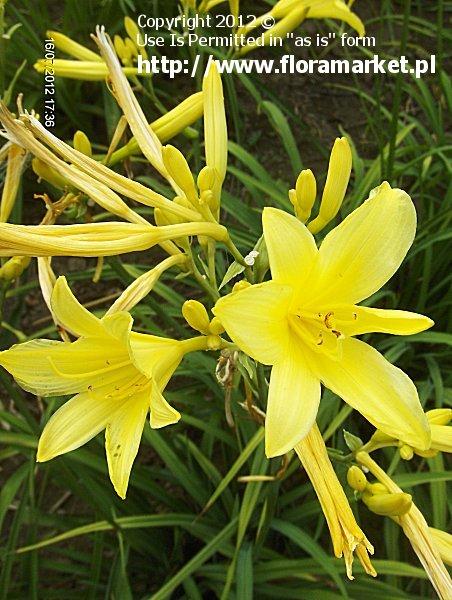 Hemerocallis flava (liliowiec ��ty)
