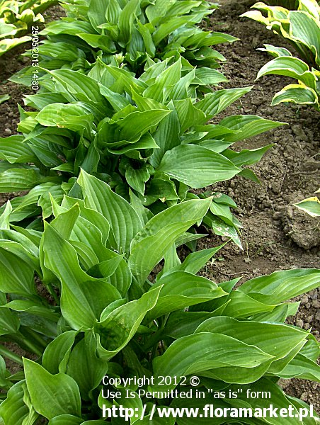 funkia póŸnokwiatowa '' Hosta tardiflora