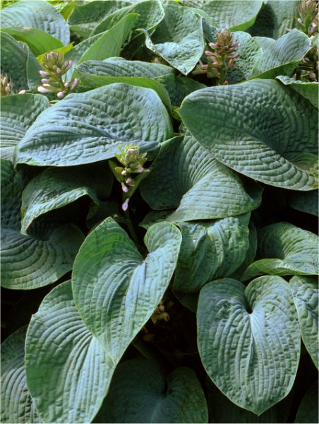 funkia  'Blue Angel' Hosta