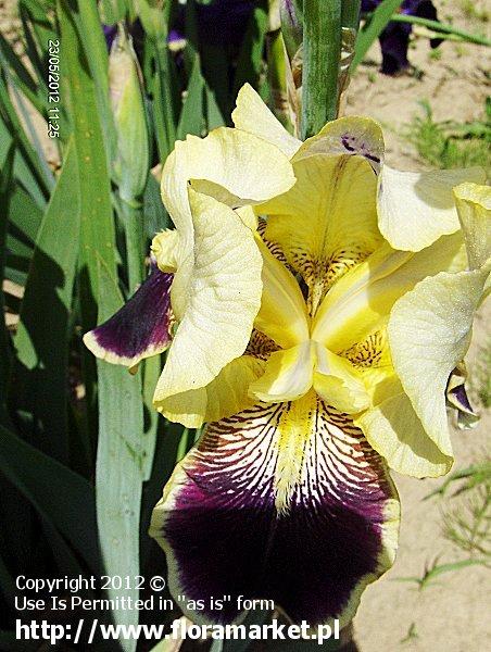 "Iris barbata  ""Vingolf"" (kosaciec bródkowy)"