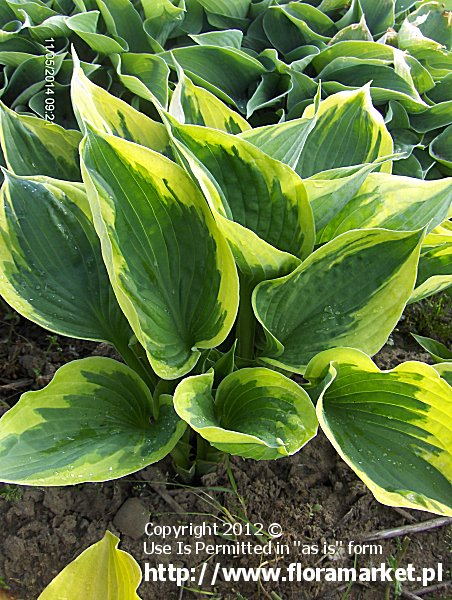 funkia  'Twilight' Hosta