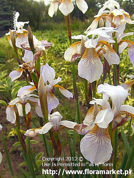 "Iris sibirica  ""Mrs. Rowe"" (kosaciec syberyjski)"