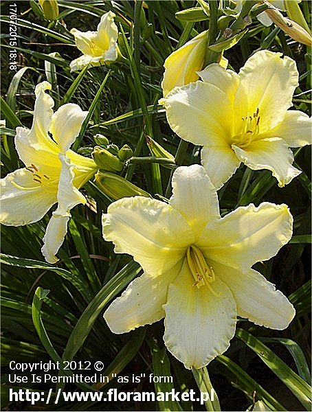 "Hemerocallis  ""White Formal"" (liliowiec)"