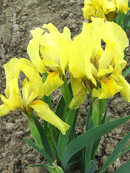"Iris barbata nana  ""(¿ó³ty)"" (kosaciec niski)"