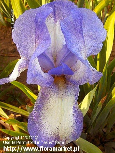 """Iris barbata  """"Hey Looky"""" (kosaciec bródkowy)"""
