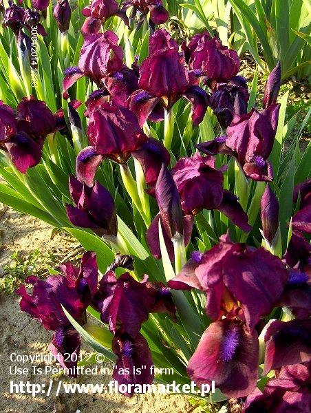 "Iris barbata nana  ""Nanny"" (kosaciec niski)"
