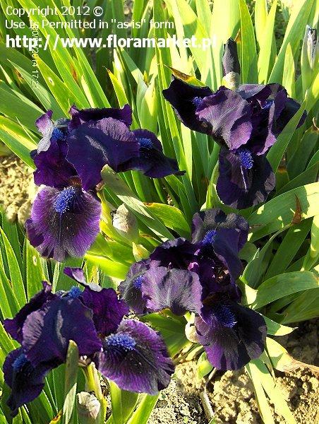 "Iris barbata nana  ""Michael Paul"" (kosaciec niski)"