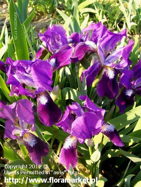 kosaciec niski '' Iris pumila irys