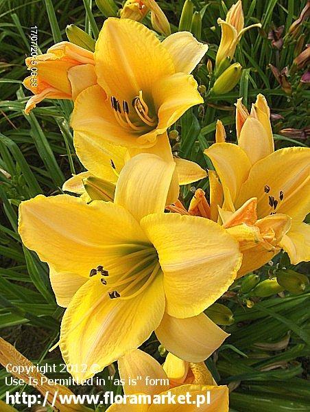 "Hemerocallis  ""Parian China"" (liliowiec)"