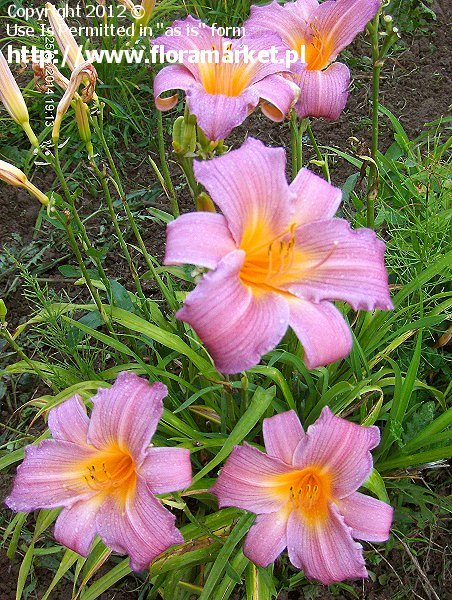 liliowiec  'Sugar Candy' Hemerocallis