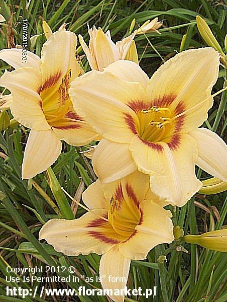 "Hemerocallis  ""Varsity"" (liliowiec)"