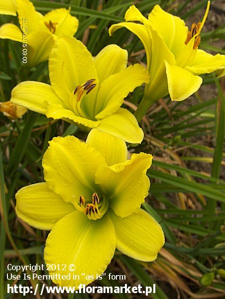 """Hemerocallis  """"Green Flutter"""" (liliowiec)"""