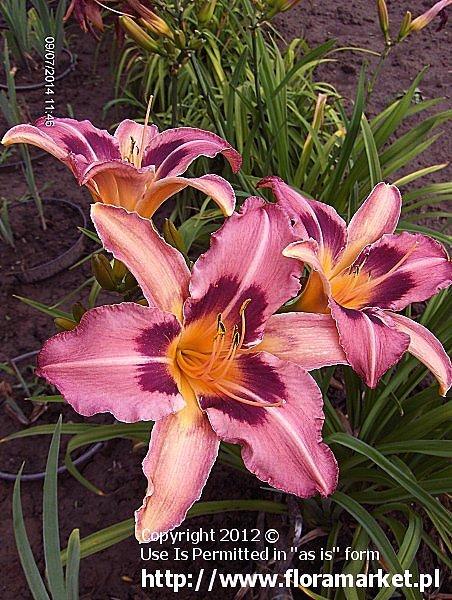 "Hemerocallis  ""Scaramouche"" (liliowiec)"