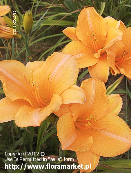 liliowiec  'Sombrero Way' Hemerocallis