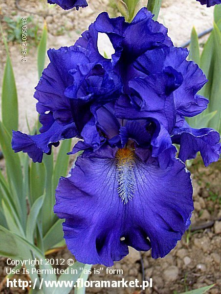 "Iris barbata  ""Blue Suede Shoes"" (kosaciec bródkowy)"