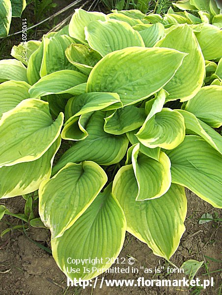 funkia  'Fragrant Bouqet' Hosta