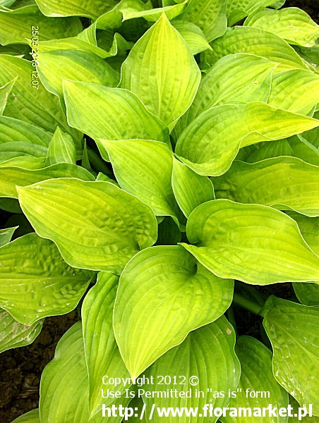 funkia  'Midwest Magic' Hosta