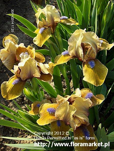"Iris barbata nana  ""Gingerbread Man"" (kosaciec niski)"