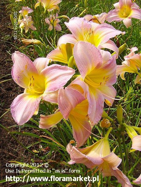 """Hemerocallis  """"Catherine Woodbery"""" (liliowiec)"""