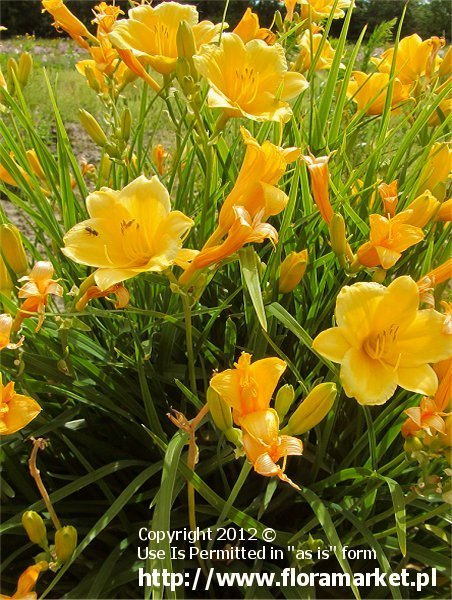 "Hemerocallis  ""Stella de Oro"" (liliowiec)"
