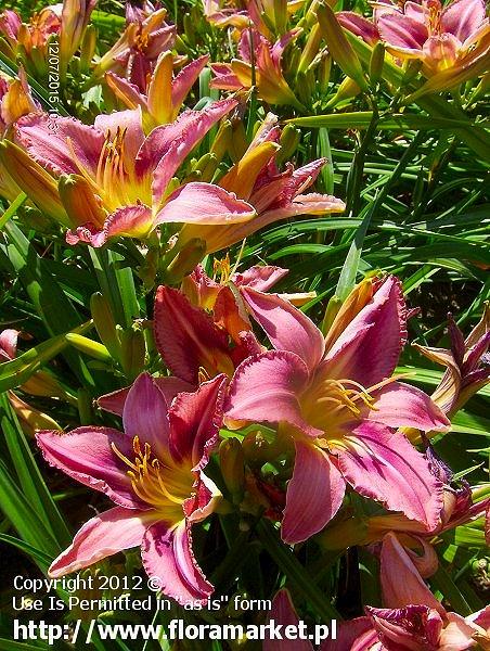 """Hemerocallis  """"Purple Bicolor"""" (liliowiec)"""