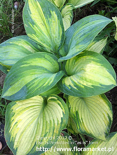 funkia  'Super Nova' Hosta