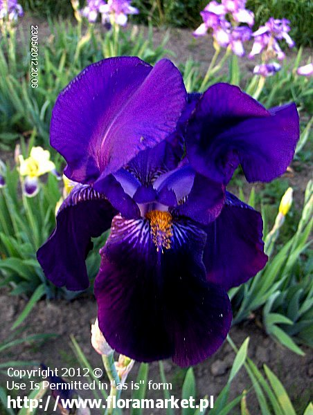 "Iris barbata  ""Bishop's Robe"" (kosaciec bródkowy)"