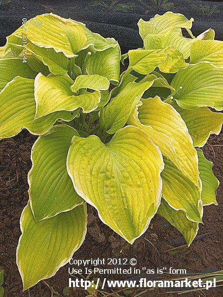 funkia  'Lakeside Cha Cha' Hosta