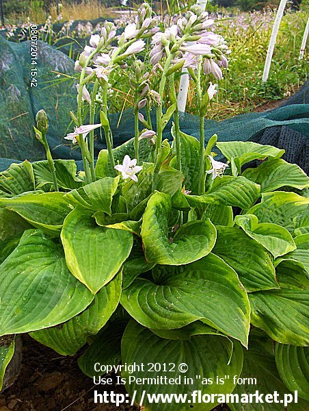 funkia  'Abiqua Moonbeam' Hosta