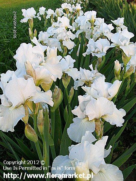 """Iris barbata  """"Angel's Snow"""" (kosaciec bródkowy)"""