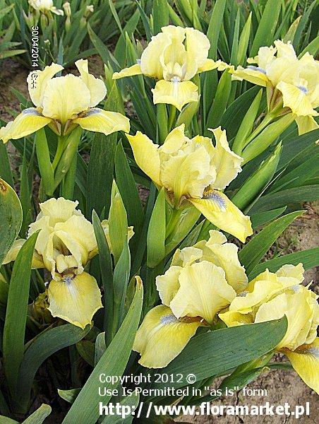 """Iris barbata nana  """"Golden Starlet"""" (kosaciec niski)"""