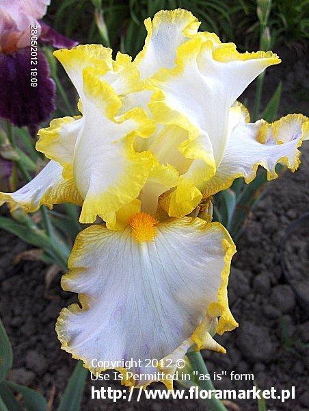 "Iris barbata  ""Bride's Halo"" (kosaciec bródkowy)"