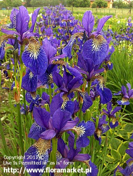 "Iris sibirica  ""Perrys Blue"" (kosaciec syberyjski)"