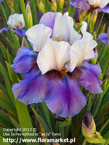 "Iris barbata  ""Tropical Night"" (kosaciec bródkowy)"
