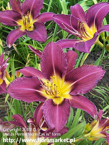 liliowiec  'Blazing Violet' Hemerocallis