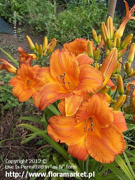 "Hemerocallis  ""Mauna Loa"" (liliowiec)"