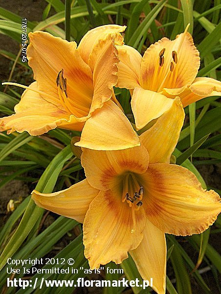"Hemerocallis  ""Tick Tock"" (liliowiec)"