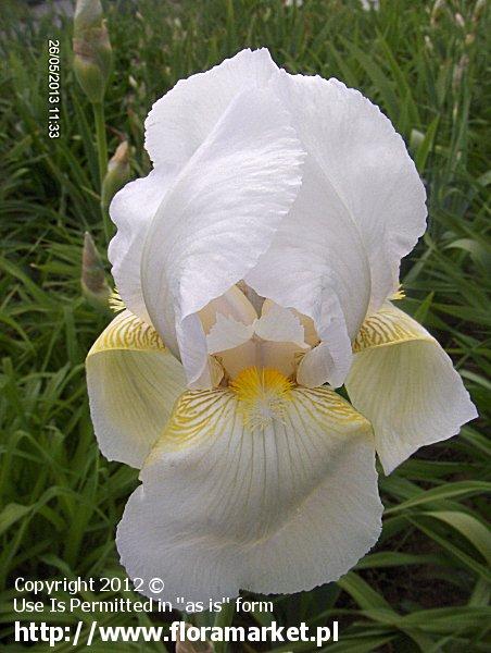 """Iris barbata  """"Bianca"""" (kosaciec bródkowy)"""