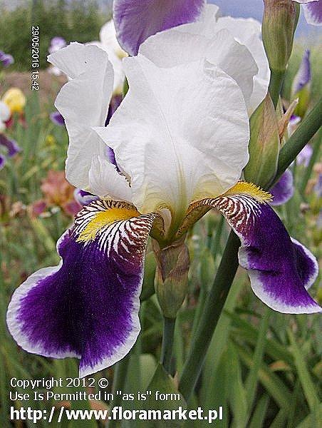 kosaciec bródkowy  'Wabash' Iris barbata  irys