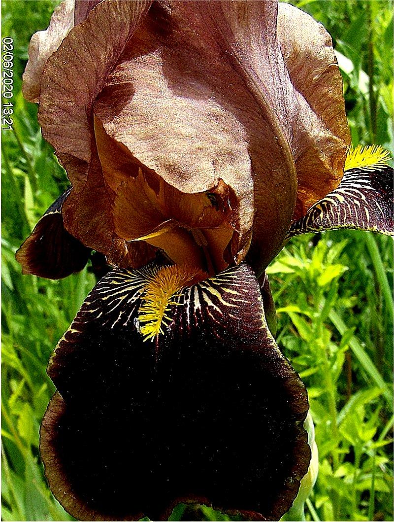 kosaciec bródkowy  'Louvois' Iris barbata  irys